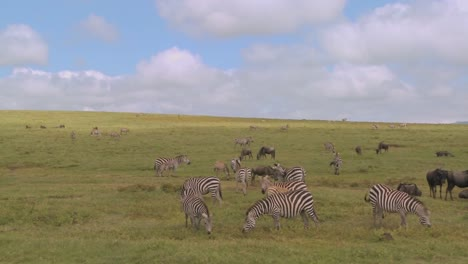 A-pan-across-the-African-savannah-with-zebras-and-wildebeest-grazing