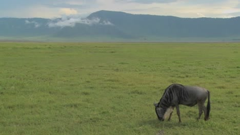 A-wildebeest-grazes-on-the-plains-of-Africa