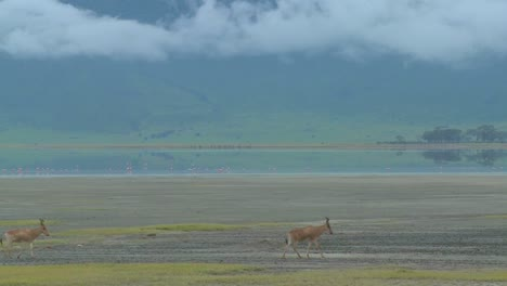 Eland-antelopes-walk-near-a-lake-on-the-plains-of-Africa