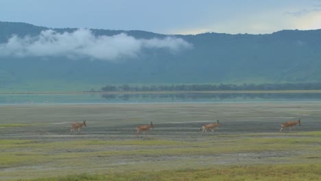 Eland-antelopes-walk-near-a-lake-on-the-plains-of-Africa-1