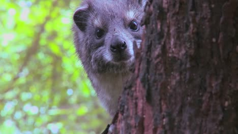 An-African-hyrax-peers-out-of-a-tree