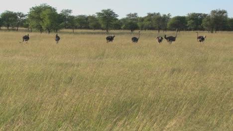 Eine-Gruppe-Strauße-Steht-In-Der-Ferne-Auf-Den-Ebenen-Afrikas