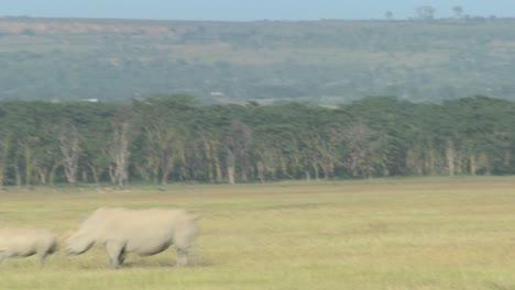 Los-Rinocerontes-Cruzan-Una-Llanura-Cubierta-De-Hierba