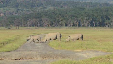 Three-rhinos-cross-a-road-