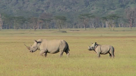 Two-rhinos-in-a-grassy-field