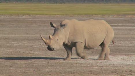 A-rhino-on-a-muddy-plain-