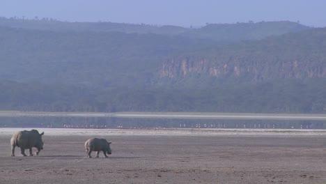 Rhinos-cross-a-muddy-plain-