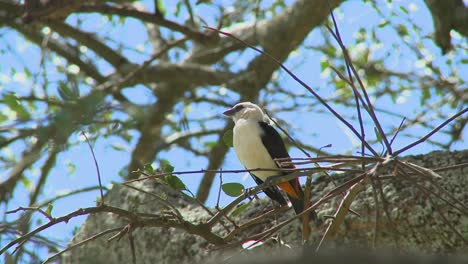 A-white-headed-weaver-sits-in-a-tree-in-Africa-1