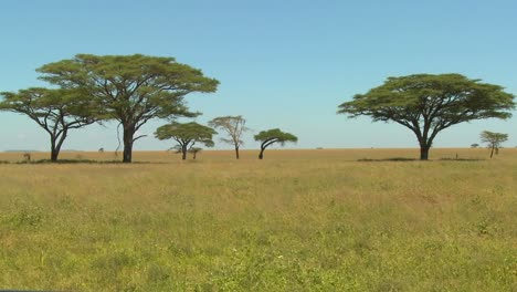 Beautiful-acacia-trees-grown-on-the-African-savannah