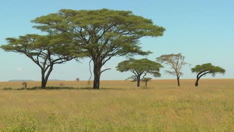 Acacia-trees-grown-on-the-African-savannah