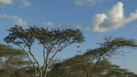 Birds-burst-from-a-tree-and-fly-in-all-directions-on-the-African-plain