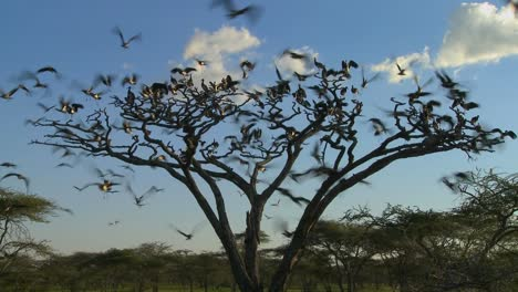 Birds-burst-from-a-tree-and-fly-in-all-directions-on-the-African-plain-1