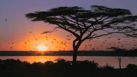 Birds-fly-through-a-beautiful-sunset-shot-on-the-plains-of-Africa-with-acacia-tree-foreground