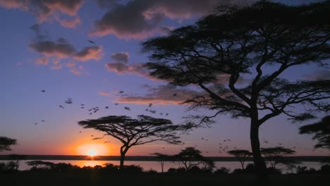 Birds-fly-at-sunset-near-acacia-trees-on-the-savannah-of-Africa