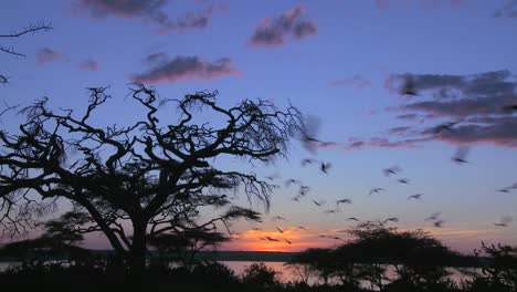 A-large-flock-of-birds-flies-from-an-acacia-tree-on-the-plains-of-Africa