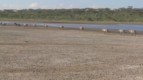 Zebras-migrate-across-a-dry-parched-region-of-East-Africa