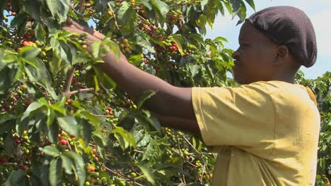 A-woman-picks-coffee-beans-on-a-farm-in-Africa