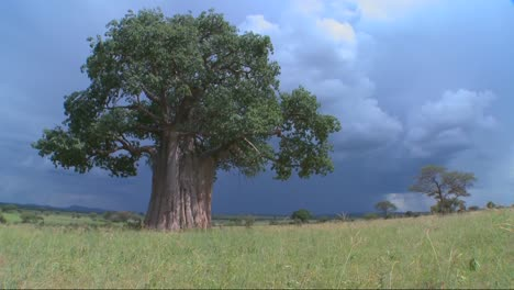 Tilt-up-to-a-baobab-tree-standing-against-a-stormy-sky-in-Tarangire-Tanzania