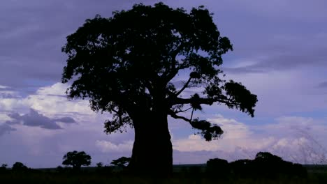 Amazing-time-lapse-shot-of-clouds-against-a-silhouetted-baobab-tree-on-the-African-plain
