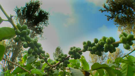 Time-lapse-of-coffee-beans-growing-on-a-coffee-plantation-in-the-tropics