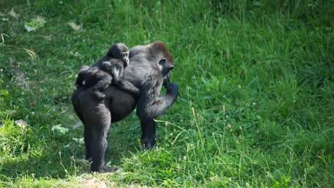 Gorilla-06