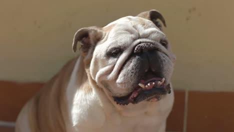 Bulldog-04