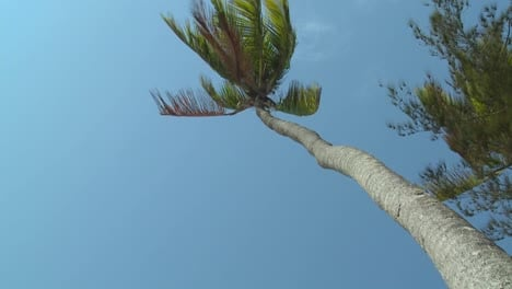 A-low-angle-view-looking-straight-up-at-a-palm-tree-blowing-in-the-wind