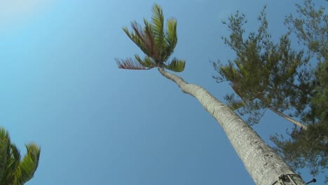 A-low-angle-view-looking-straight-up-at-a-palm-tree-blowing-in-the-wind-1