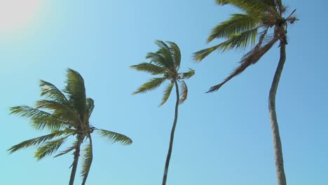A-low-view-of-palm-trees-blowing-in-the-wind