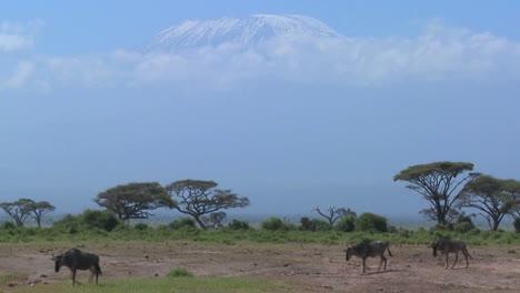 Los-ñus-Caminar-En-Frente-Del-Monte-Kilimanjaro-En-El-Parque-Nacional-Amboceli-Tanzania