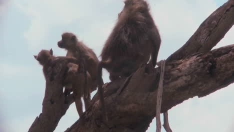 Baboons-and-babies-sit-in-a-tree-in-Africa