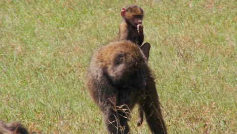 A-baby-baboon-rides-on-her-mothers-back