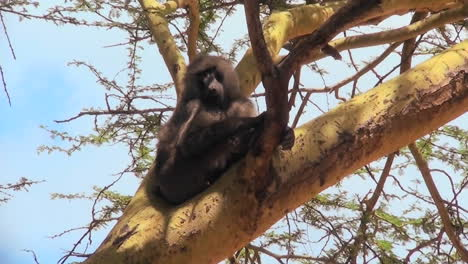 An-adult-baboon-rests-in-a-tree-and-scratches-his-head