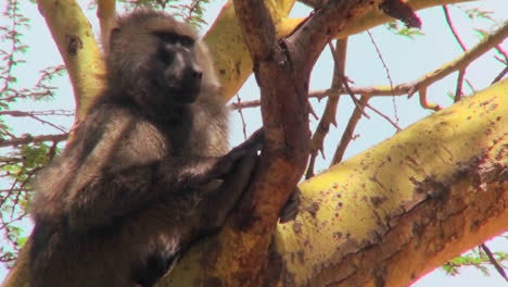 An-adult-baboon-sits-in-a-tree-in-Africa