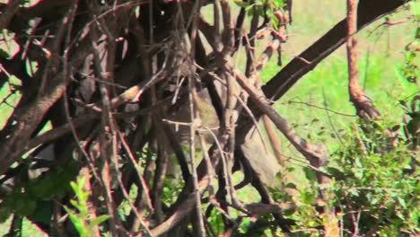 A-baboon-walks-through-the-grass-in-Africa