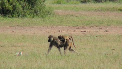 A-mother-baboon-carries-her-baby-across-the-savannah-in-Africa