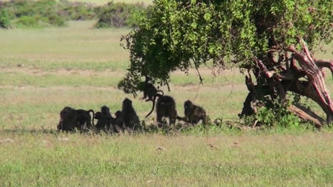 Baboons-play-under-a-tree-on-the-African-savannah