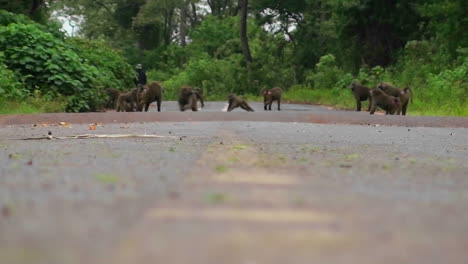 Baboons-play-on-a-road-in-Africa