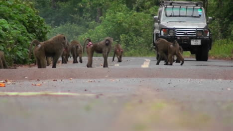 Baboons-play-on-a-road-in-Africa-as-a-vehicle-approaches