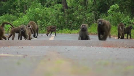 Baboons-play-and-chase-each-other-along-a-road-in-Africa