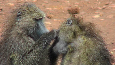 Baboons-pick-fleas-off-each-other-in-a-grooming-ritual-in-Africa