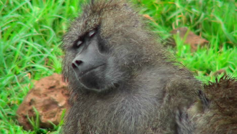 Baboons-groom-each-other-in-Africa