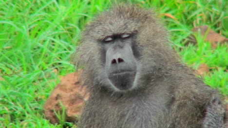 A-baboon-falls-asleep-while-being-groomed