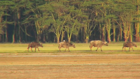 Cape-buffalo-walk-across-the-plains-of-Africa