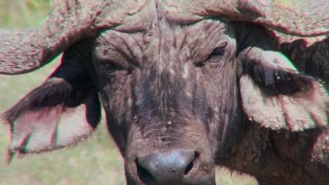 Eine-Extreme-Nahaufnahme-Eines-Kapbüffelgesichts-Das-Wütend-Aussieht