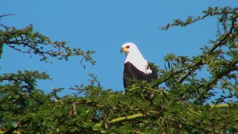 Un-águila-Pescadora-Africana-Se-Sienta-En-Un-Arbusto-Espinoso-Y-Luego-Vuela