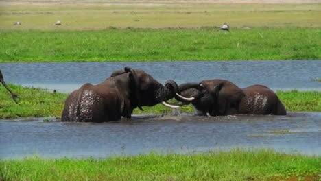 Juvenile-elephants-play-and-tussle-in-a-watering-hole-in-Africa-1