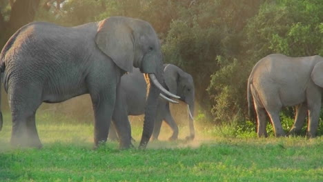African-elephants-graze-in-a-field