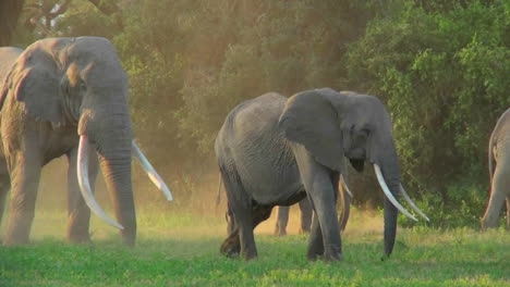 Elephants-with-giant-tusks-walk-in-golden-morning-sunrise-or-sunset-light-in-Africa