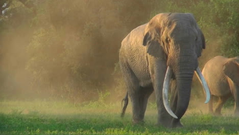 A-beautiful-majestic-giant-elephant-stands-in-early-morning-light-with-massive-tusks